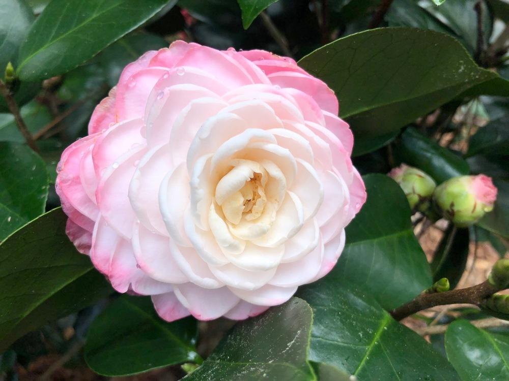 <em>Camellia japonica</em> 'Elizabeth Acree'