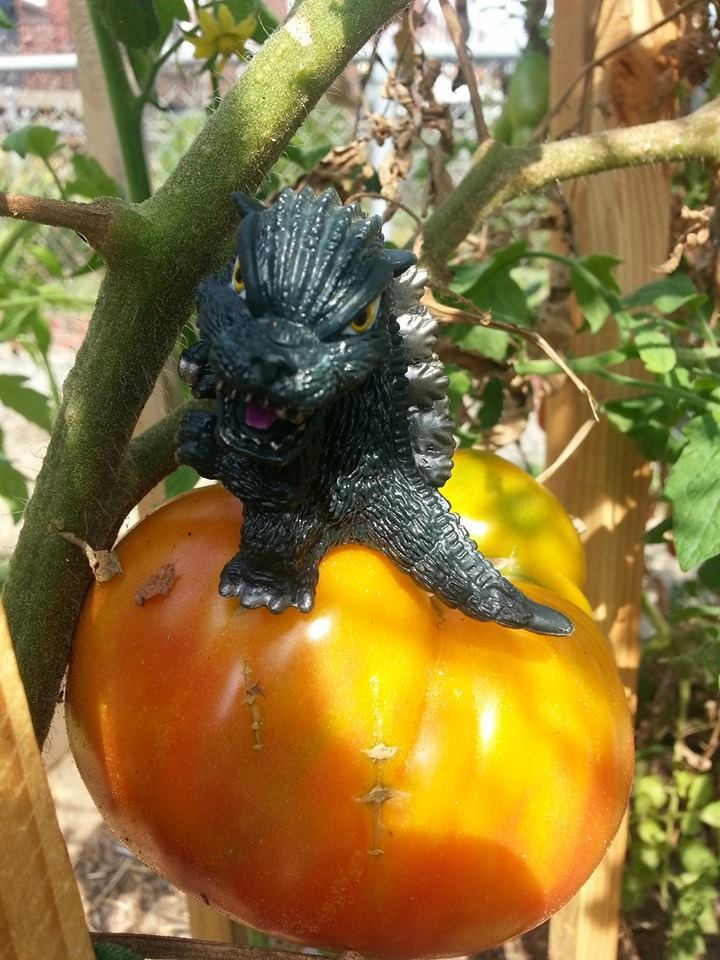 Tomatozilla! Godzilla atop a freshly ripened tomato in Amelia's Potager in Washington, D.C.