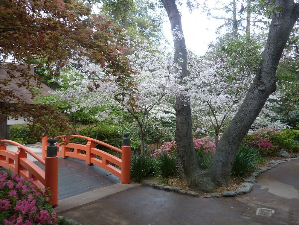 Cherry Blossoms in bloom at the Descanso Gardens Japanese Garden Festival.