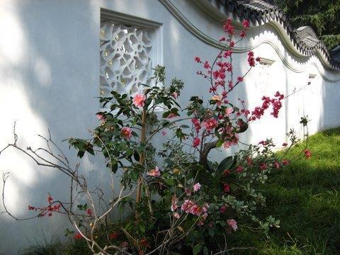 'Happy Harlequin' camellia
