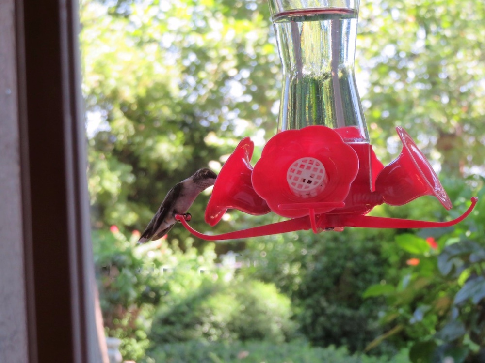 A hummingbird visits a feeder