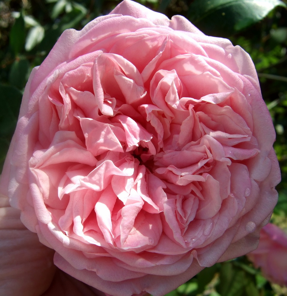 'Duchesse de Brabant' is an antique rose variety grown by John in his garden.