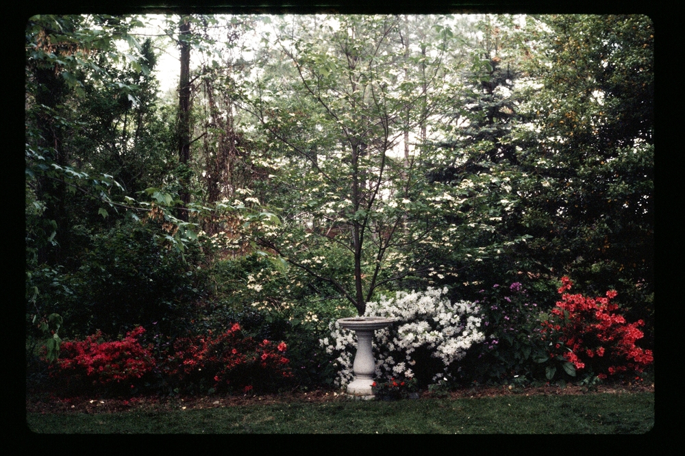 A shady section of the garden with azaleas and a birdbath, 1977.