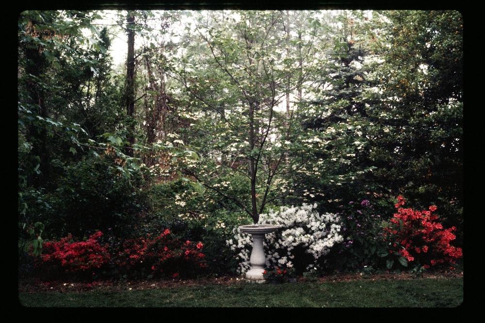 A shady section of the garden with azaleas and a birdbath, 1977.