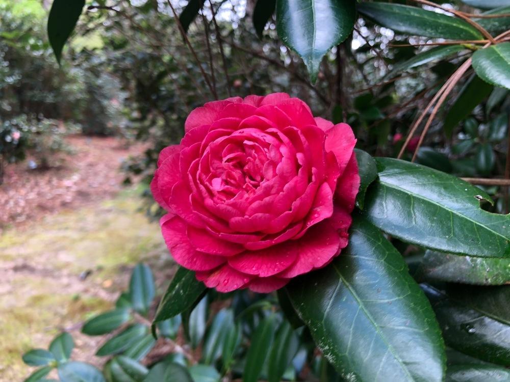 <em>Camellia japonica</em> 'Siegmund Garden'
