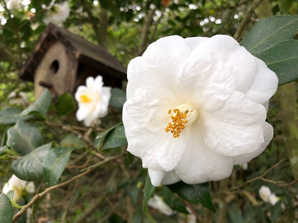 <em>Camellia japonica</em> 'Snowdrift'