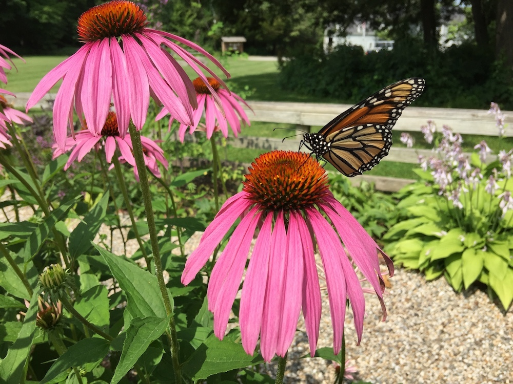 A monarch butterfly alights on a coneflower