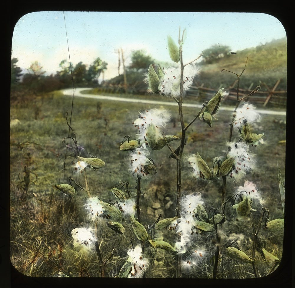 Milkweed growing wild in a field
