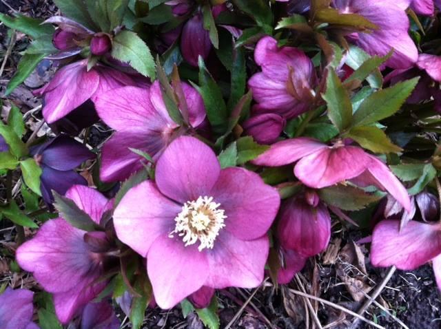 Violet-colored hellebore