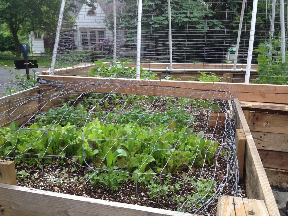 Salad greens thriving in the pallet garden, 2014.