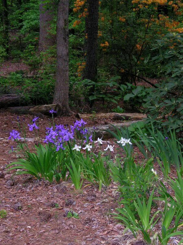 Woodland garden: Japanese roof iris, April 12, 2006.These iris, <em>Iris tectorum</em>, bloom alongside a woodland path.