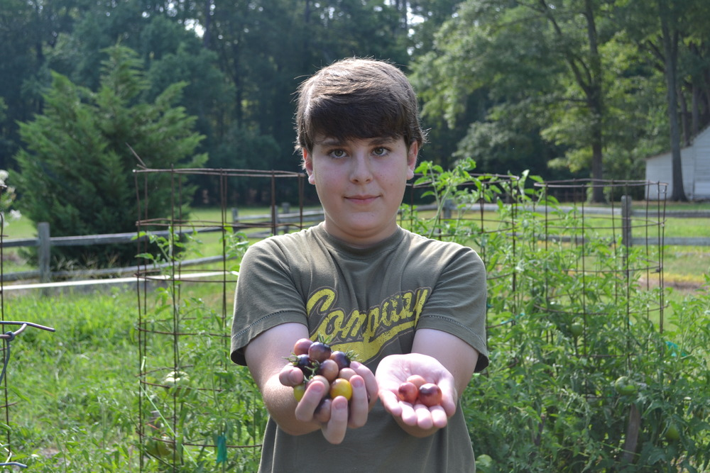 A bounty of purple tomatoes from the Children's Garden at Hickory Hill House Museum.