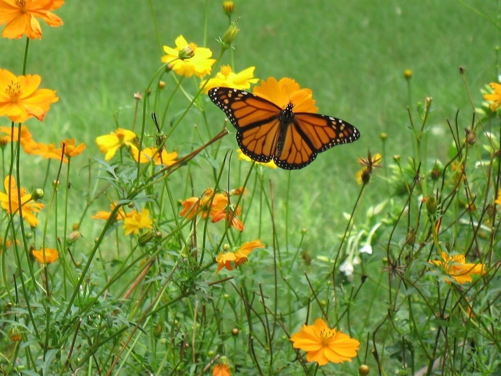 The garden is a registered Monarch Waystation
