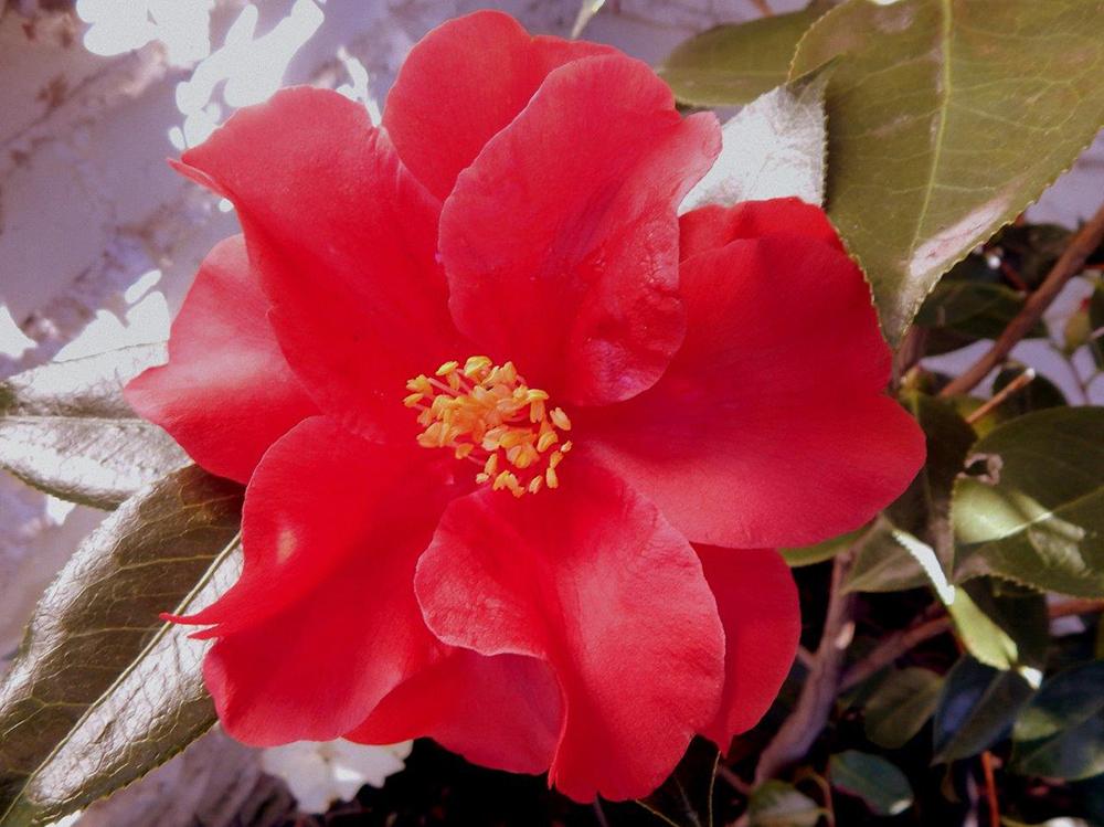 'Royal Velvet' camellia