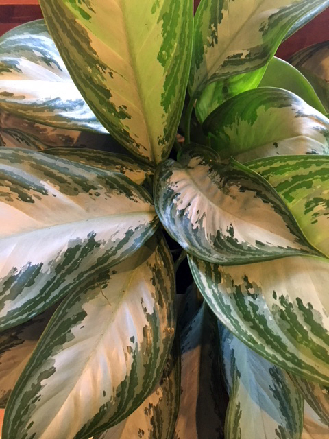 "Aglaonema, more commonly known as ""Chinese evergreen"""