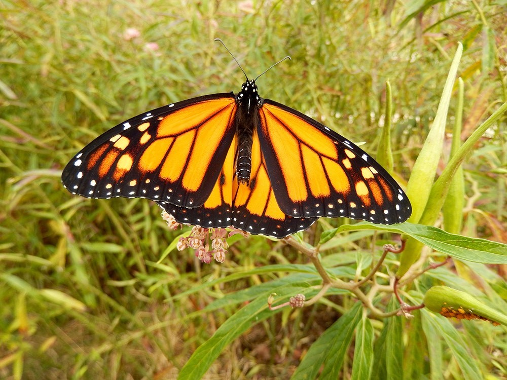 A monarch butterfly spreads it wings