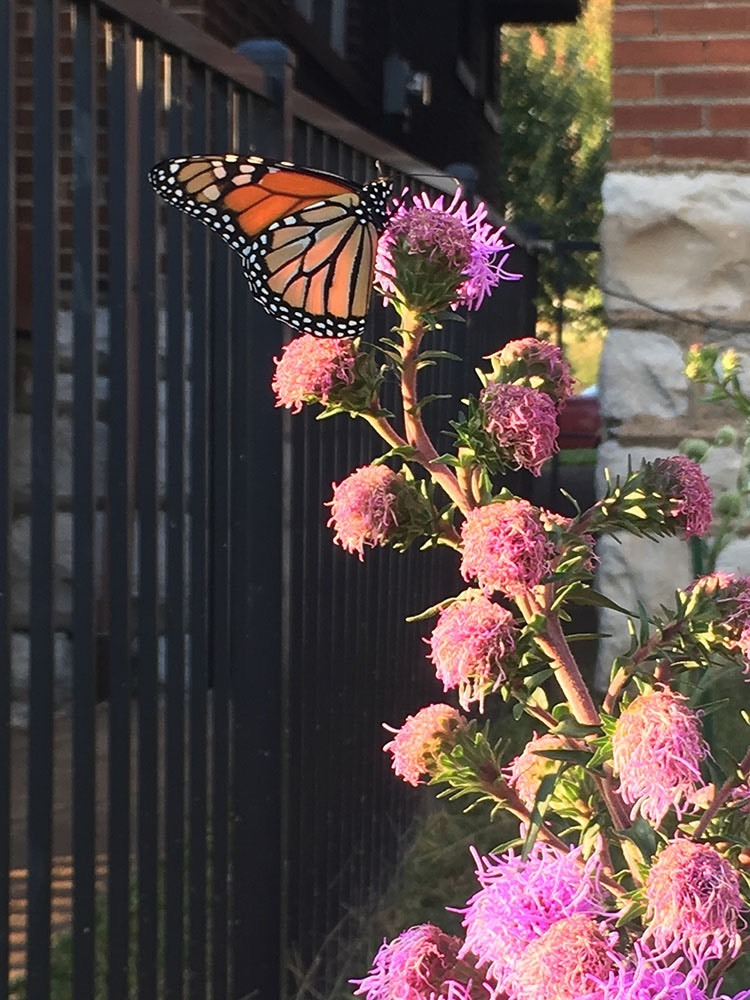 A favorite of monarch butterflies in the garden