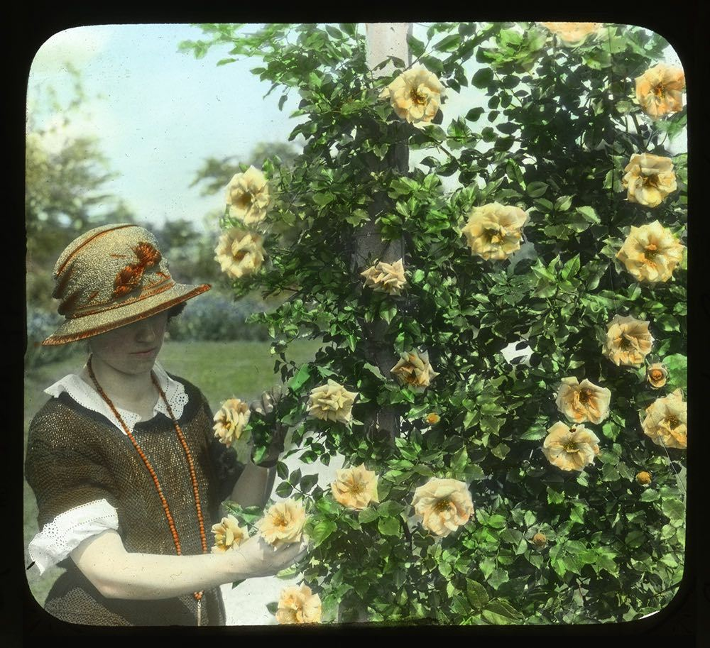 A woman with yellow roses (climbing 'Emily Gray') at McFarland's Breeze Hill gardens, 1923.