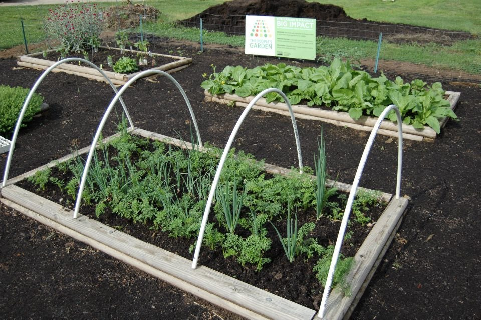 Garden beds planted with vegetables