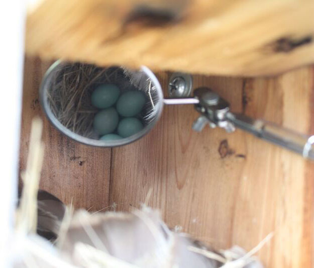 Looking inside a bluebird box