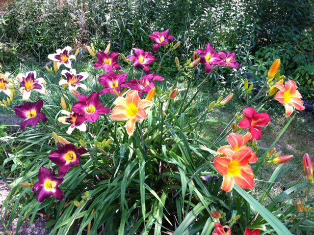 A rainbow of lilies