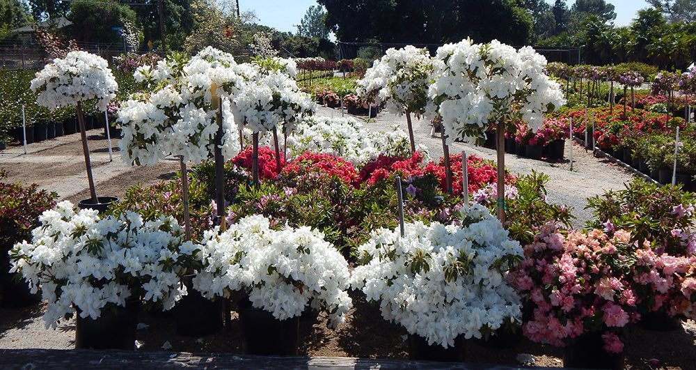 Azaleas on display at Nuccio's Nurseries