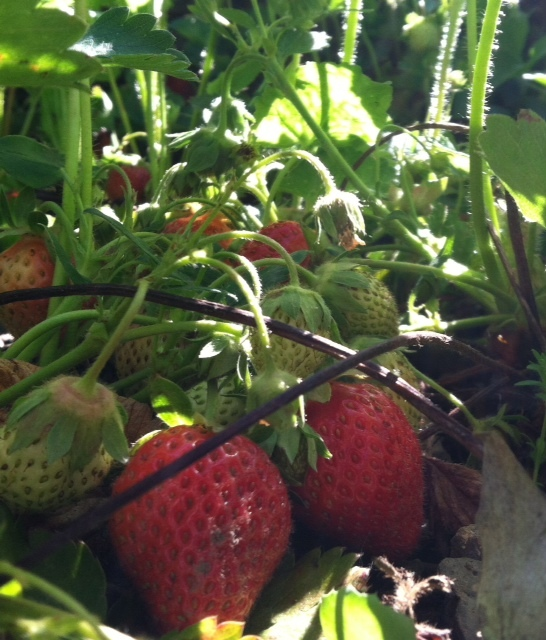 An abundance of strawberries.