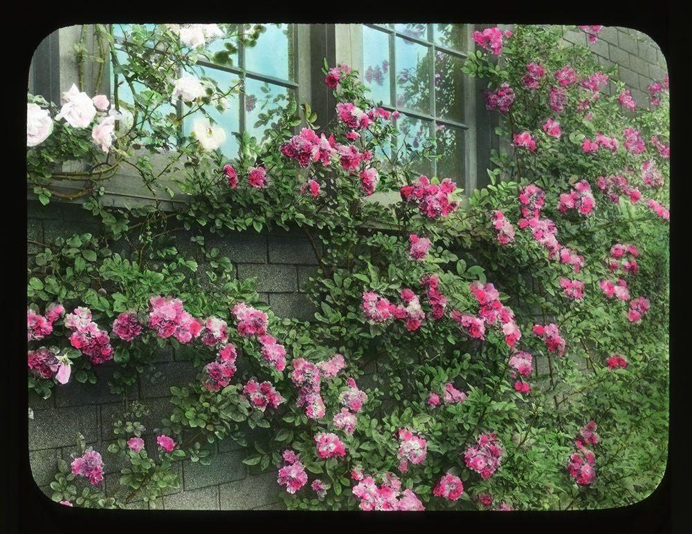 McFarland's climbing Orleans roses at his home Breeze Hill, June 1926.