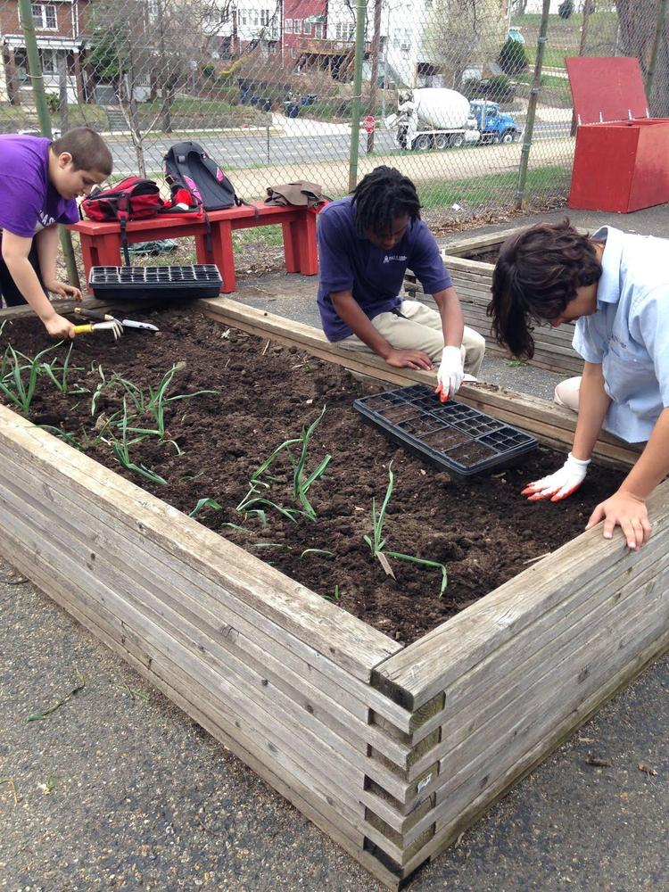 Students transplant tiny seedlings into the school garden raised beds. Spring 2014.