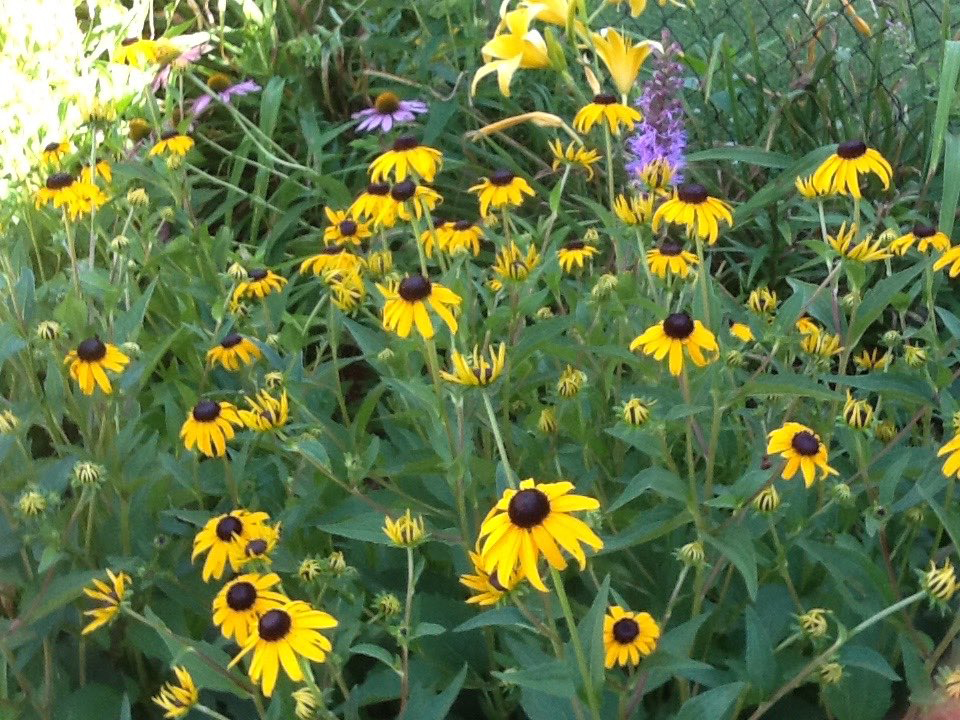 Black-eyed Susans in Judy's garden