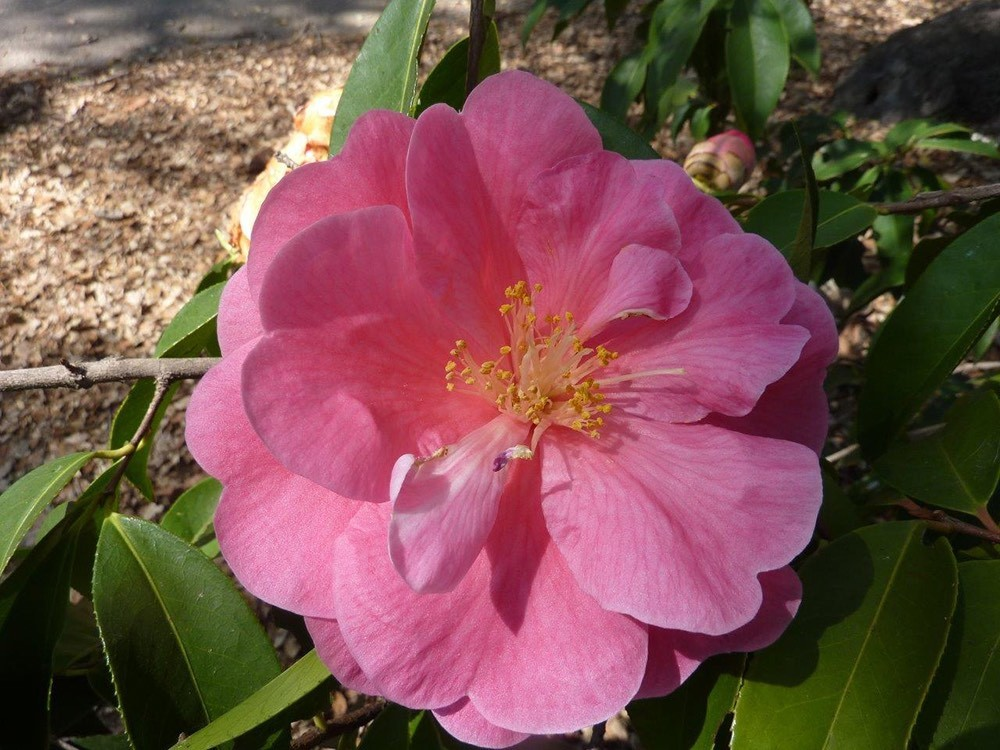 'Dolores Hope' camellia