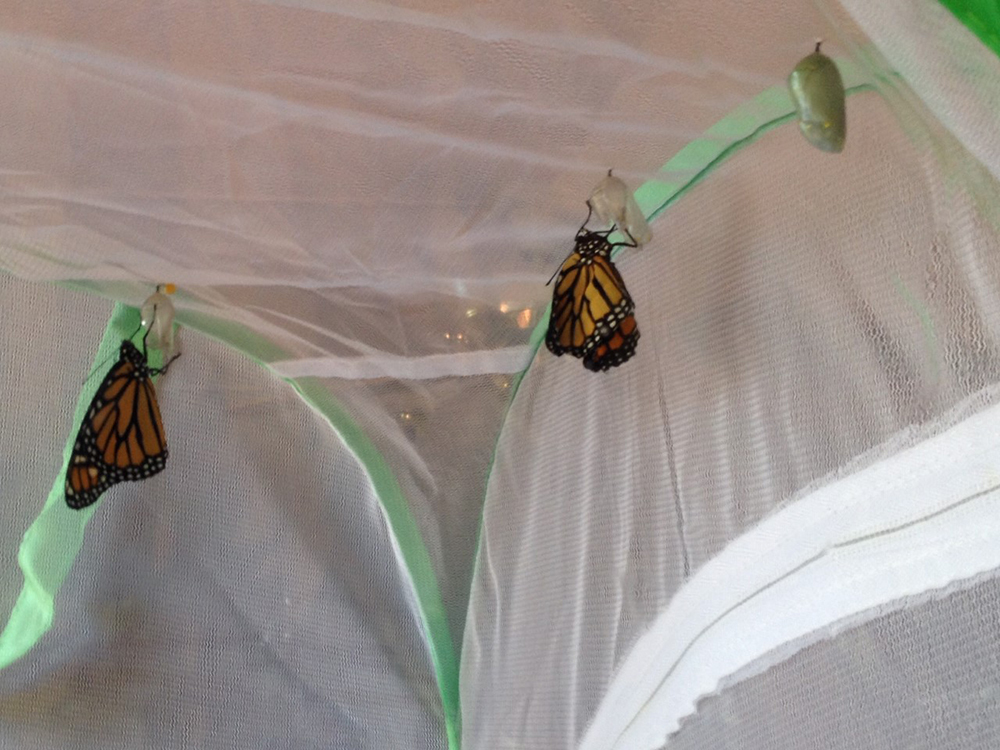 The monarch butterflies unfolding in the tent are wild caterpillars