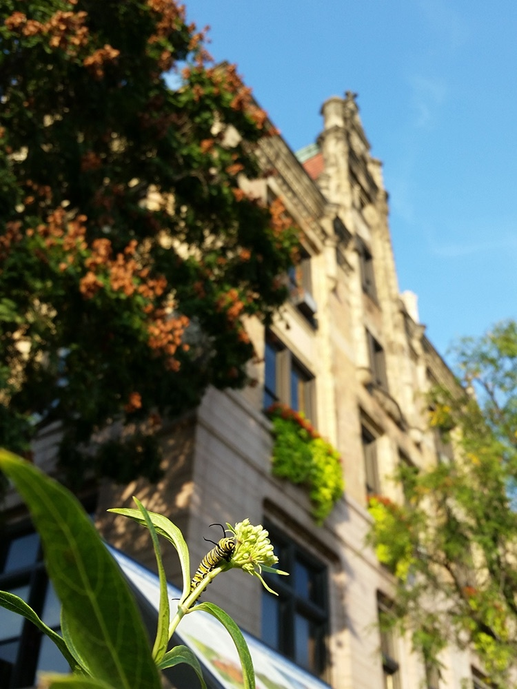 Monarch caterpillar outside St. Louis City Hall