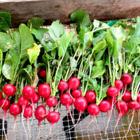 Freshly-harvested radishes from the Well Fed Community Garden in Raleigh, North Carolina.