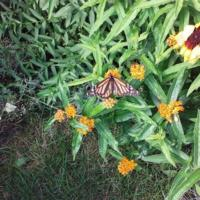 Monarch butterfly on Shirley's flowers