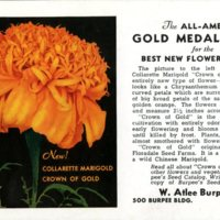Burpee postcard from 1937 featuring the 'Crown of Gold' collarette marigold. Smithsonian Institution, Archives of American Gardens, W. Atlee Burpee & Company Collection.