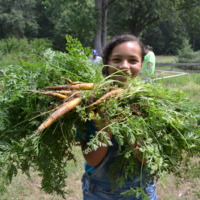 A bounty of carrot harvested from the Children's Garden at Hickory Hill House Museum.