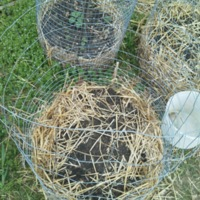 Potato beds made from chicken wire in the Kirk Community Garden.