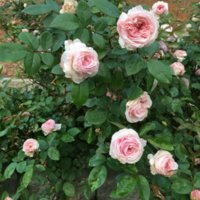 'Clotilde Soupert' roses