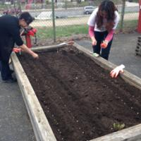 Students, staff, and volunteers at Paul International High School plant rows of seeds in raised beds, spring 2014.