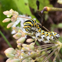A swallowtail caterpillar on fennel