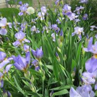 Family irises