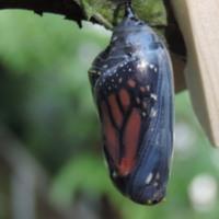 A monarch chyrsalis
